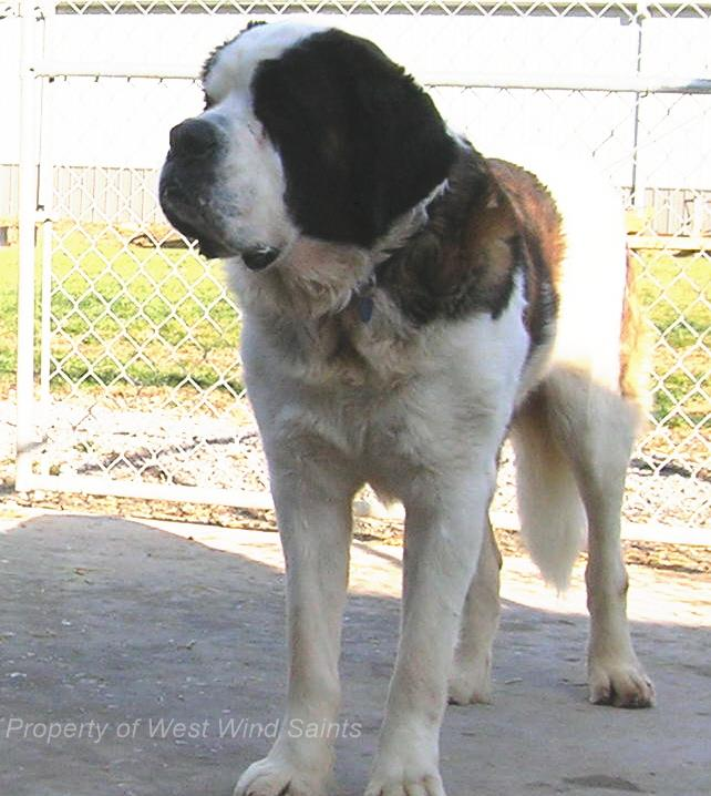 Saint Bernard Traits About Coat Colors Health And Temperment